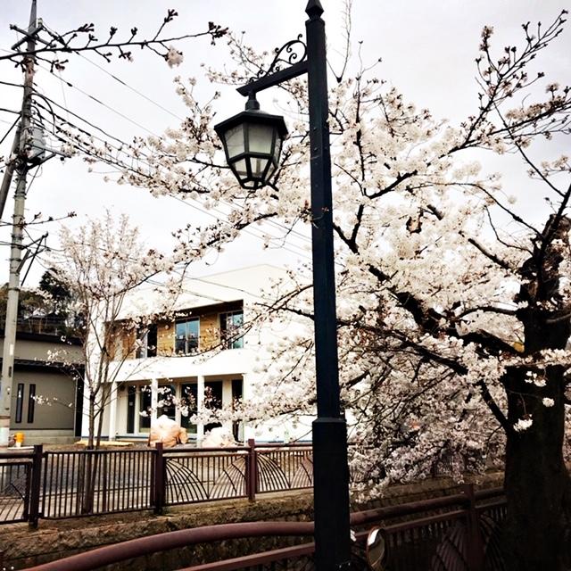 山さま邸と桜